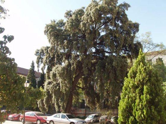 Encina del viejo Noviciado CARLOS OSORIO | http://caminandopormadrid.blogspot.com.es