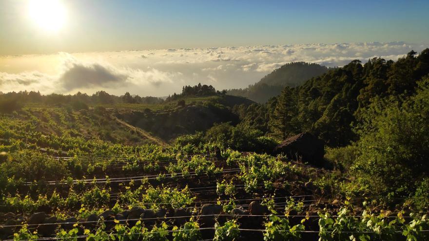 Los vinos canarios triunfan en Italia con 38 medallas y seis premios especiales