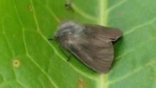 La imagen, cedida por la asociación Zerynthia, muestra un macho de la nueva especie de mariposa nocturna endémica de La Gomera, la Amicta gara.