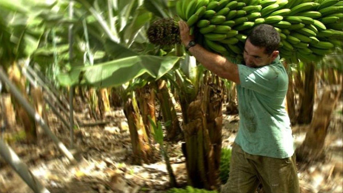 Imagen de archivo de corte y transporte de plátanos en una finca de Canarias.