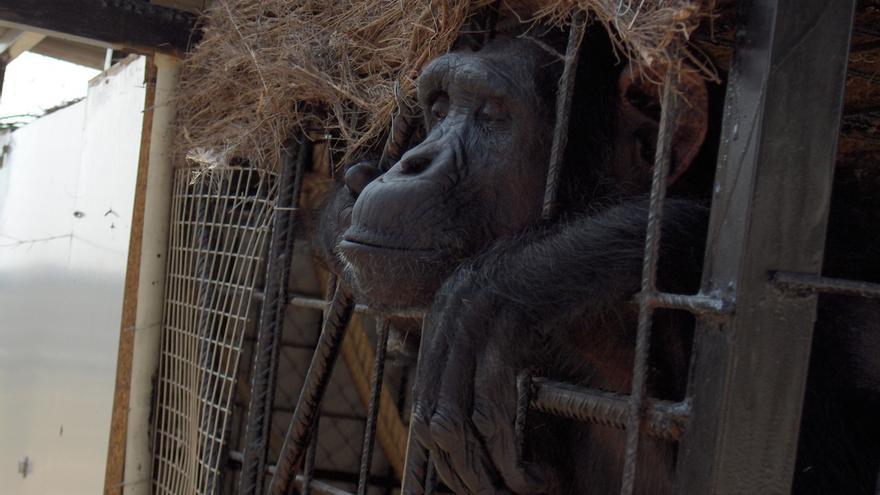 Gorila cautivo. Foto: Proyecto Gran Simio