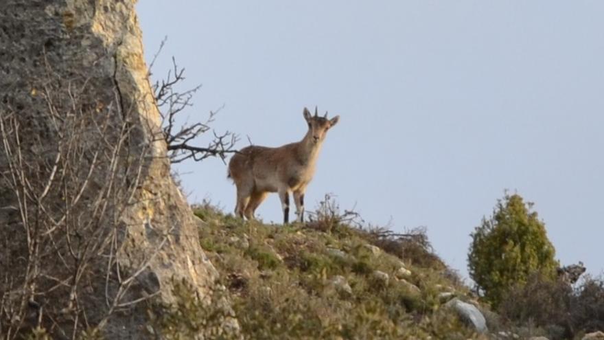 Una cabra montesa fotografiada en los montes del interior de Castellón.