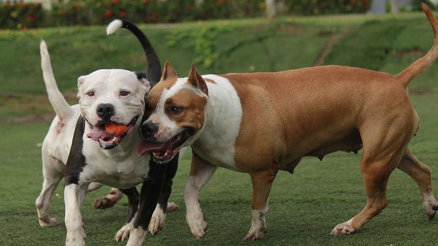 Grupo de pitbull jugando. (CA).