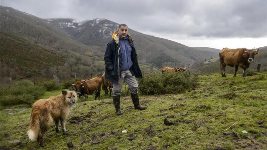 El lobo, un depredador que en 2013 atacó 1.227 reses en Galicia