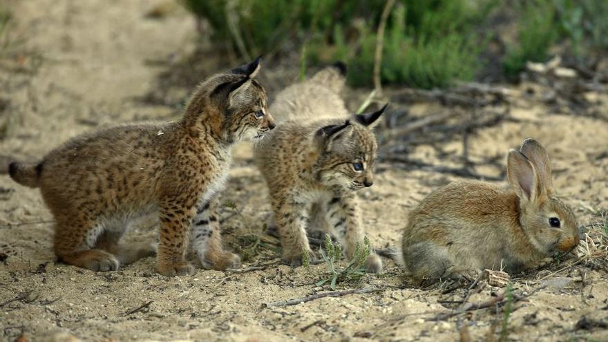 Crías de lince ibérico y conejo / Lynxexsitu