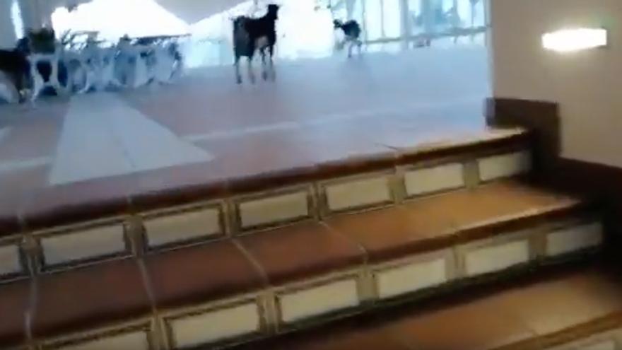Cabras campando por el hotel Oliva Beach de Fuerteventura