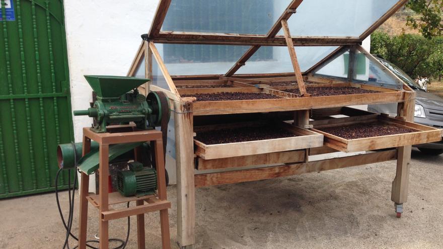 Secado de los granos de café, proceso que dura entre 25 y 30 días