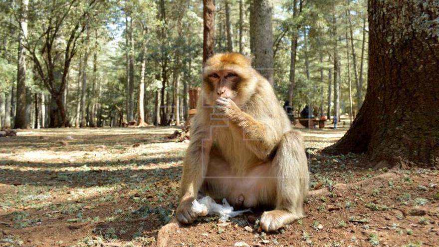 Los monos del Atlas sufren de obesidad