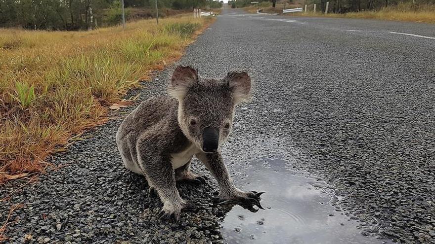 El koala puede desaparecer de algunos parajes del este de Australia