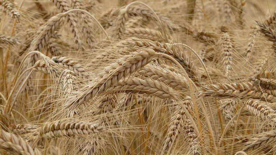 Campo de trigo. (DP)