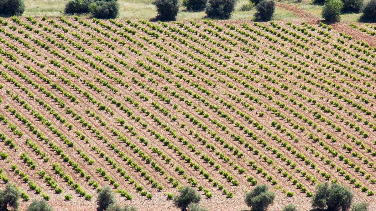 Superficie de viñedo en La Mancha