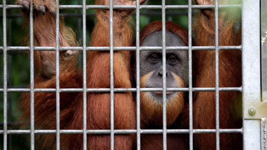Rescatan a dos orangutanes tras pasar años en jaulas precarias en Indonesia
