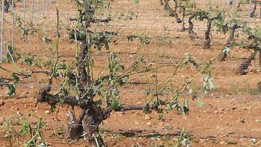 Viñedo arrasado en la provincia de Cuenca