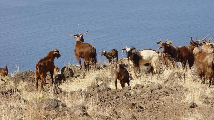 Pastoreo de costa en el Barranco del Roque (Puntagorda). Foto: JORGE PAIS.