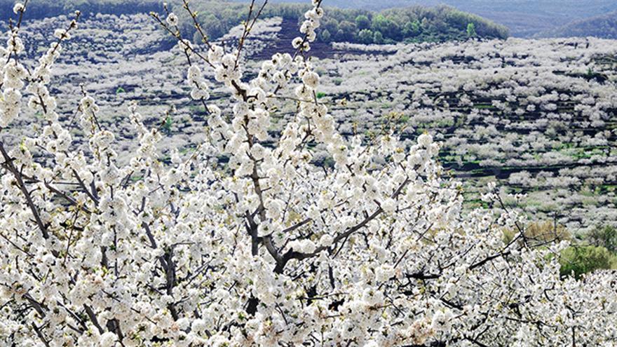 Cerezos en flor Valle del Jerte, Extremadura