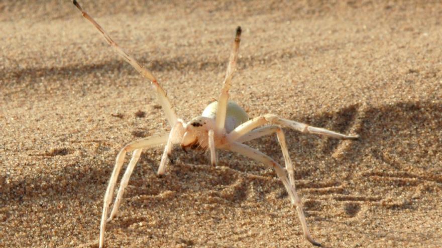 Esta nueva araña descubierta en Marruecos huye de sus depredadores dando volteretas