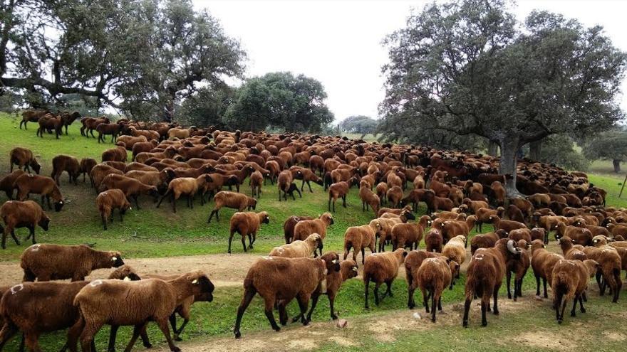 Los ejemplares protagonistas del evento forman parte del sector ganadero autóctono español
