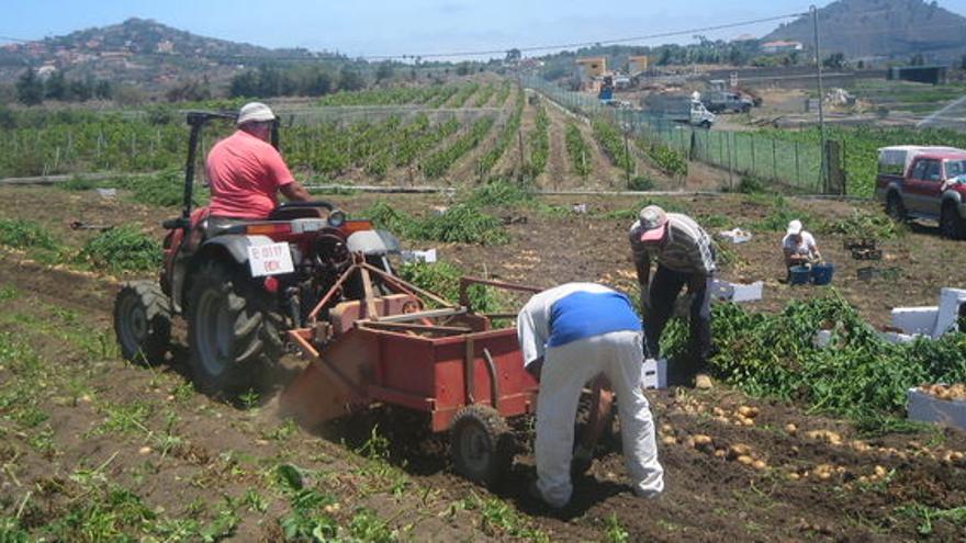 Recogida de papas en el campo de Gran Canaria.