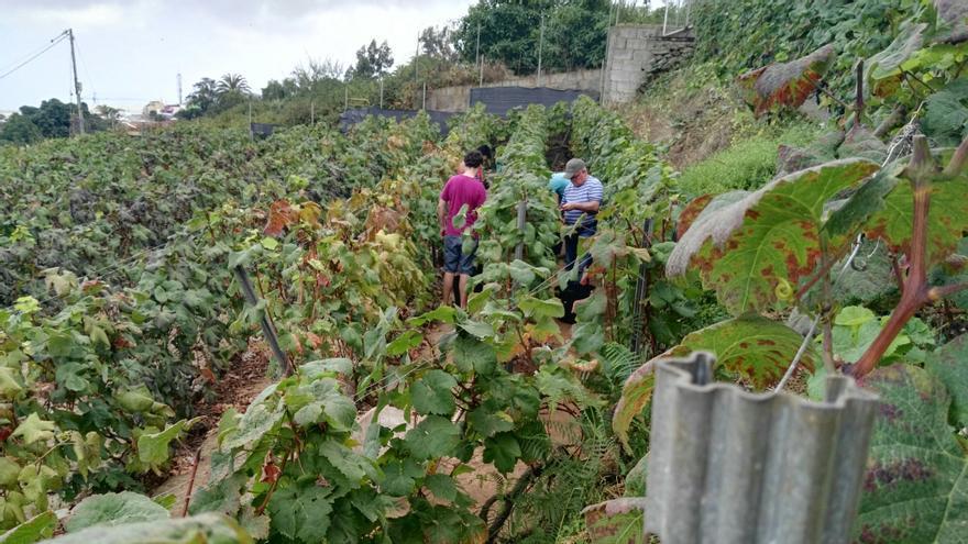 Vendimia en una finca de Los Realejos, en las medianías del Valle de La Orotava este 2018