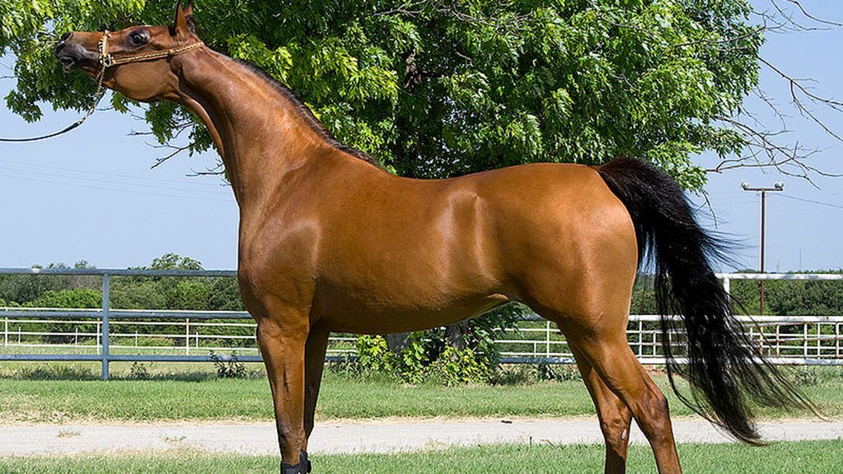 Imagen de un caballo de raza árabe