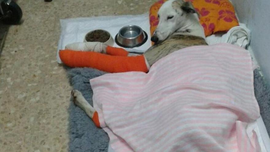 Bella, la perra maltratada, se recupera de sus heridas / Protectora de Animales Refugio de Plasencia