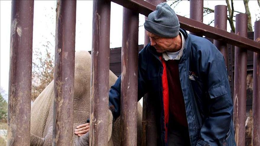 Apuestan por células madre germinales para salvar rinoceronte blanco norteño