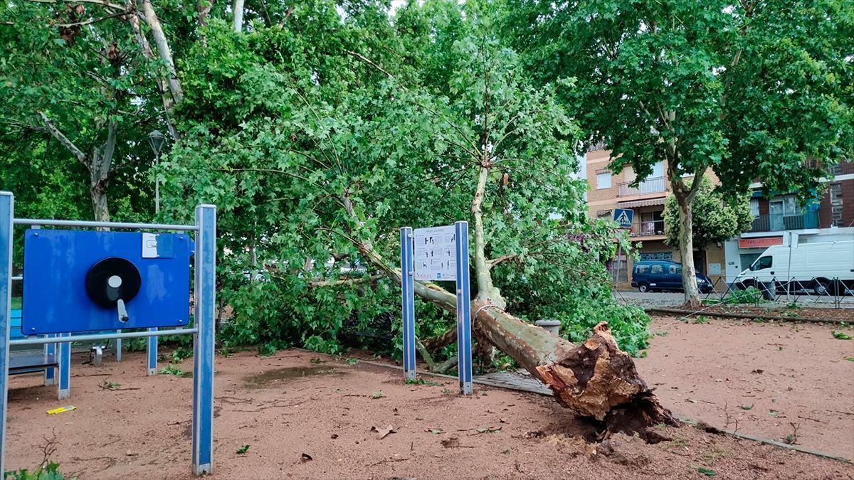 Árbol caído en Alcolea por la tormenta de lluvia y viento.