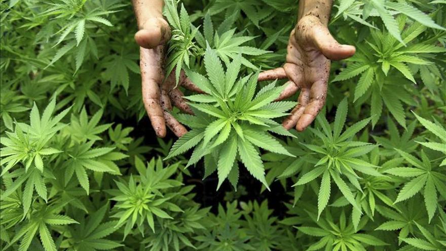 En EEUU y México se incauta casi el 70 por ciento del cannabis del mundo
