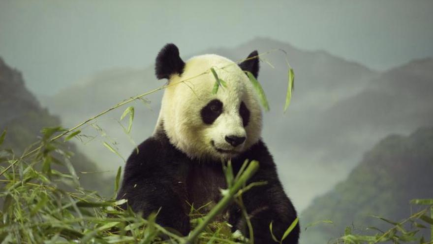 El panda Bao Bao comienza su vida pública en el zoo de Washington