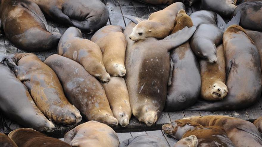 Oregón comienza a sacrificar decenas de leones marinos para proteger a salmones
