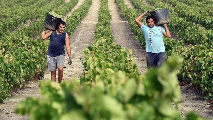 Concluye la vendimia de las primeras variedades en Montilla-Moriles y empiezan con las tintas