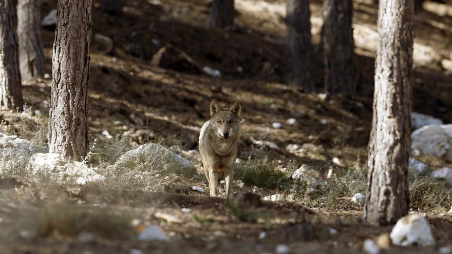 Los ganaderos piden retirar el proyecto de orden para proteger al lobo