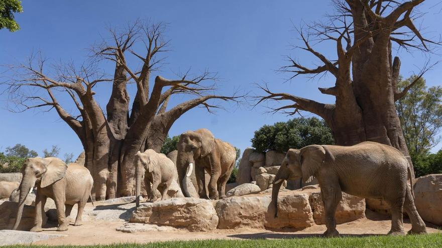 Elefantes en Bioparc València.