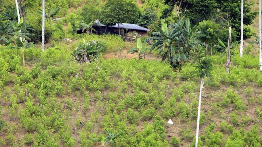 Los cultivos de coca en Colombia crecieron un 52 % en 2016, según la ONU