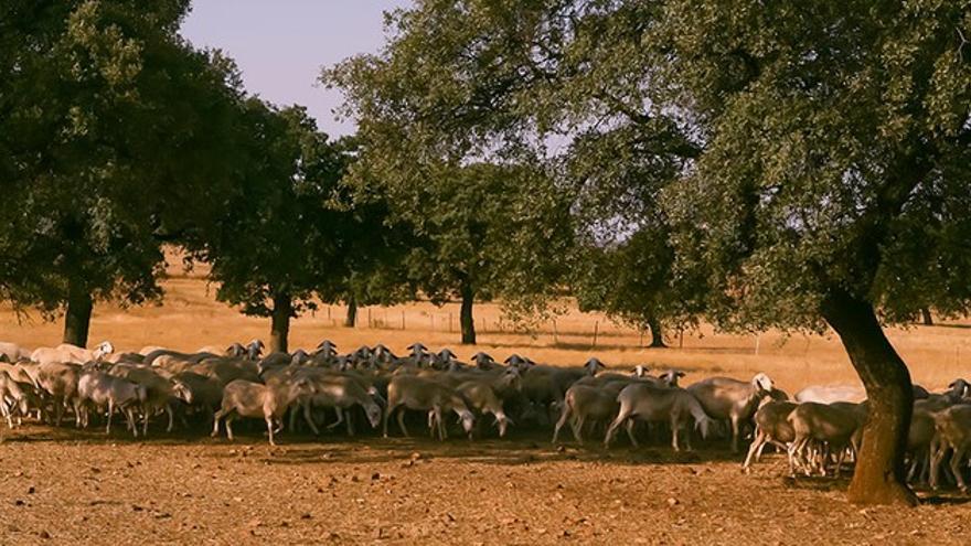 """Los sectores del ovino y caprino tanto de leche como de carne """"están fulminados"""""""