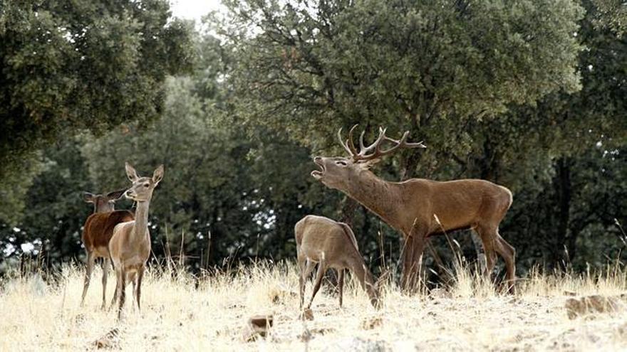 La garrapata de porta el virus de la FHCC se encontró por primera vez en España en ciervos