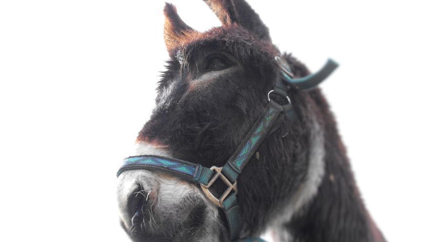 En algunas ganaderías se emplean burros para prevenir los ataques del lobo. | LUCÍA LÓPEZ