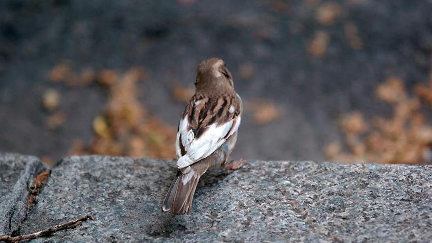 Un estudio revela que las aves urbanas cantan más fuerte para hacerse oír