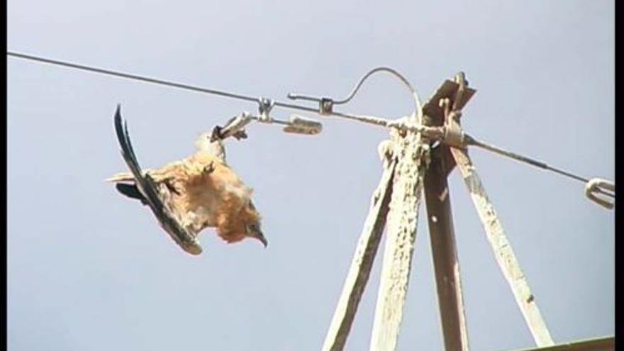 Guirre electrocutado en un tendido eléctrico de Fuerteventura. SEO Bird