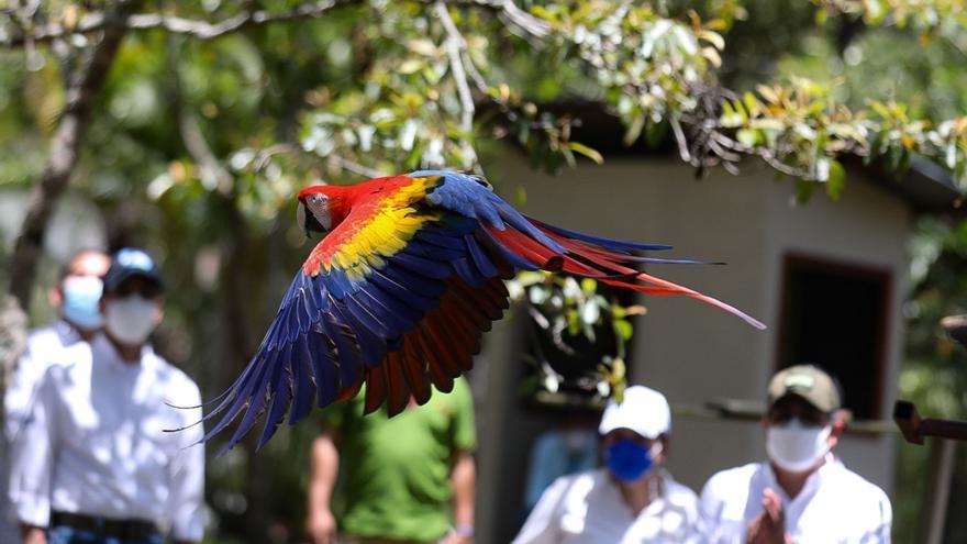 Liberan cinco ejemplares de guacamaya roja ave nacional de Honduras