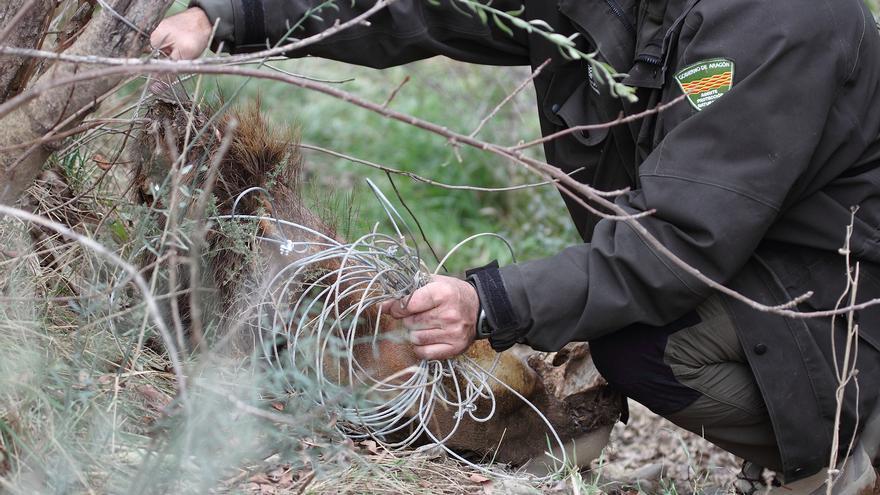 Un Agente para la Protección de la Naturaleza trabaja en El Grado (Huesca).