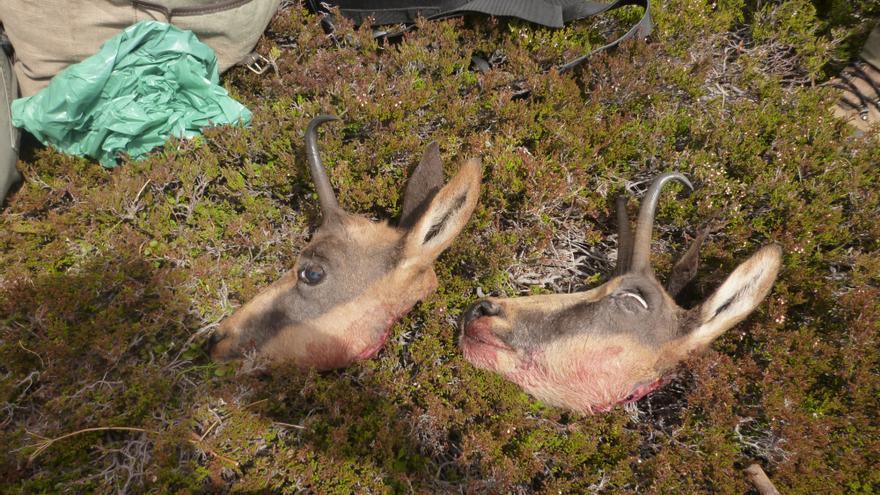 Rebecos decapitados por cazadores furtivos. Foto: Ecologistas de Asturias