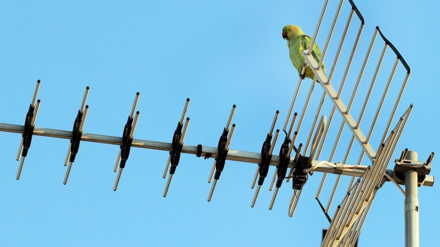 La cotorra argentina, proveedora de nidos y cooperadora frente a depredadores