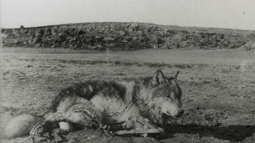 Lobo capturado con cepos y fotografiado por Ernest Thompson Seton