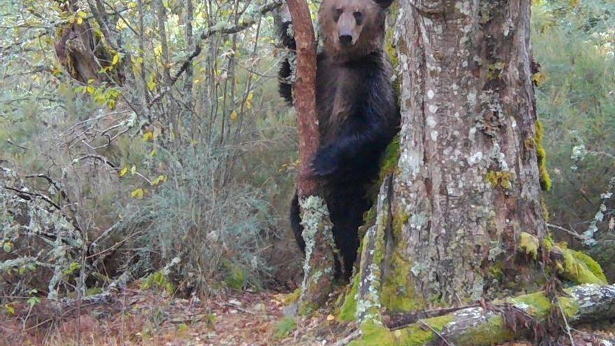 Un oso pardo en la Serra do Invernadeiro (Ourense)