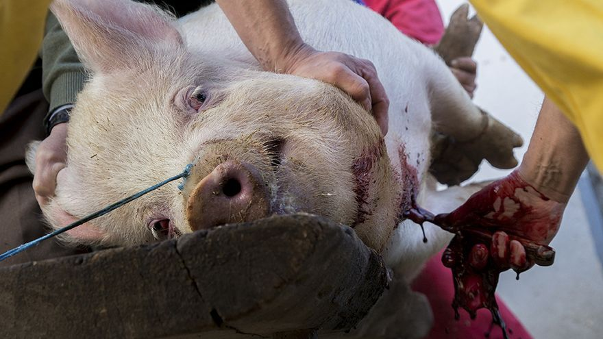 Matanza del cerdo en Palencia, sin aturdimiento y con agonía de más de diez minutos. Foto: Tras los Muros