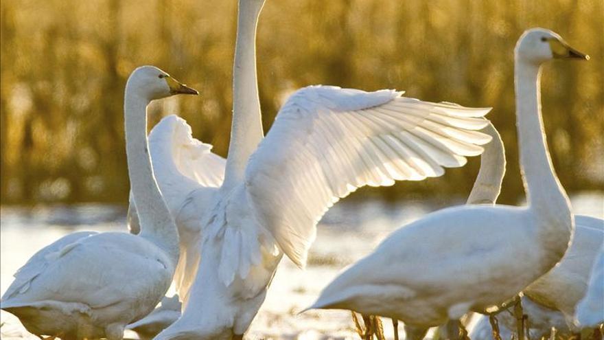 """Nueva York pretende eliminar 2.200 cisnes por ser una """"especie invasora"""""""