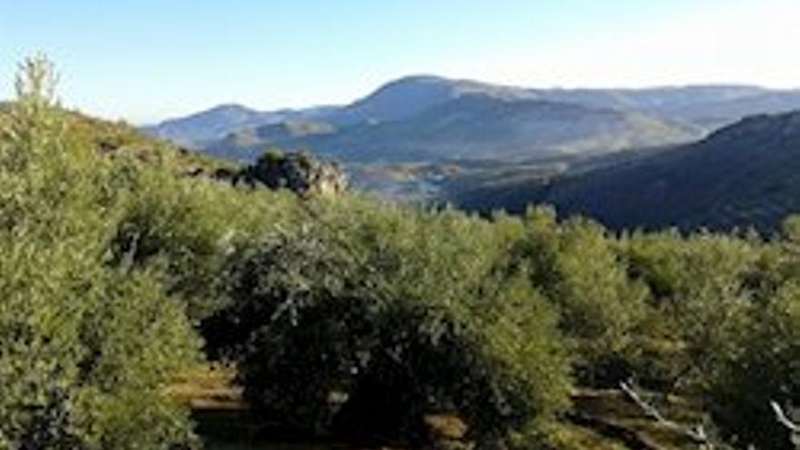 Imagen de un olivar en el municipio de Huelma (Jaén).