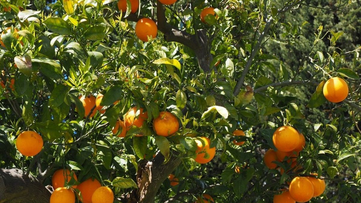 Las naranjas importadas de Turquía estarán más controladas por la Comisión Europea.
