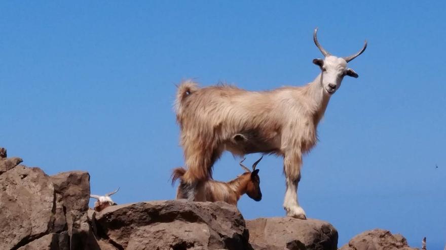 Ejemplar de ganado caprino.